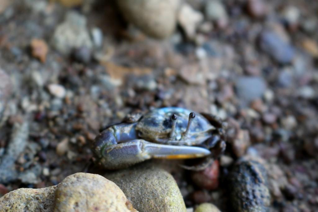 Petit crabe-Raphaël Nadal qui surdéveloppe une seule de ces pinces.